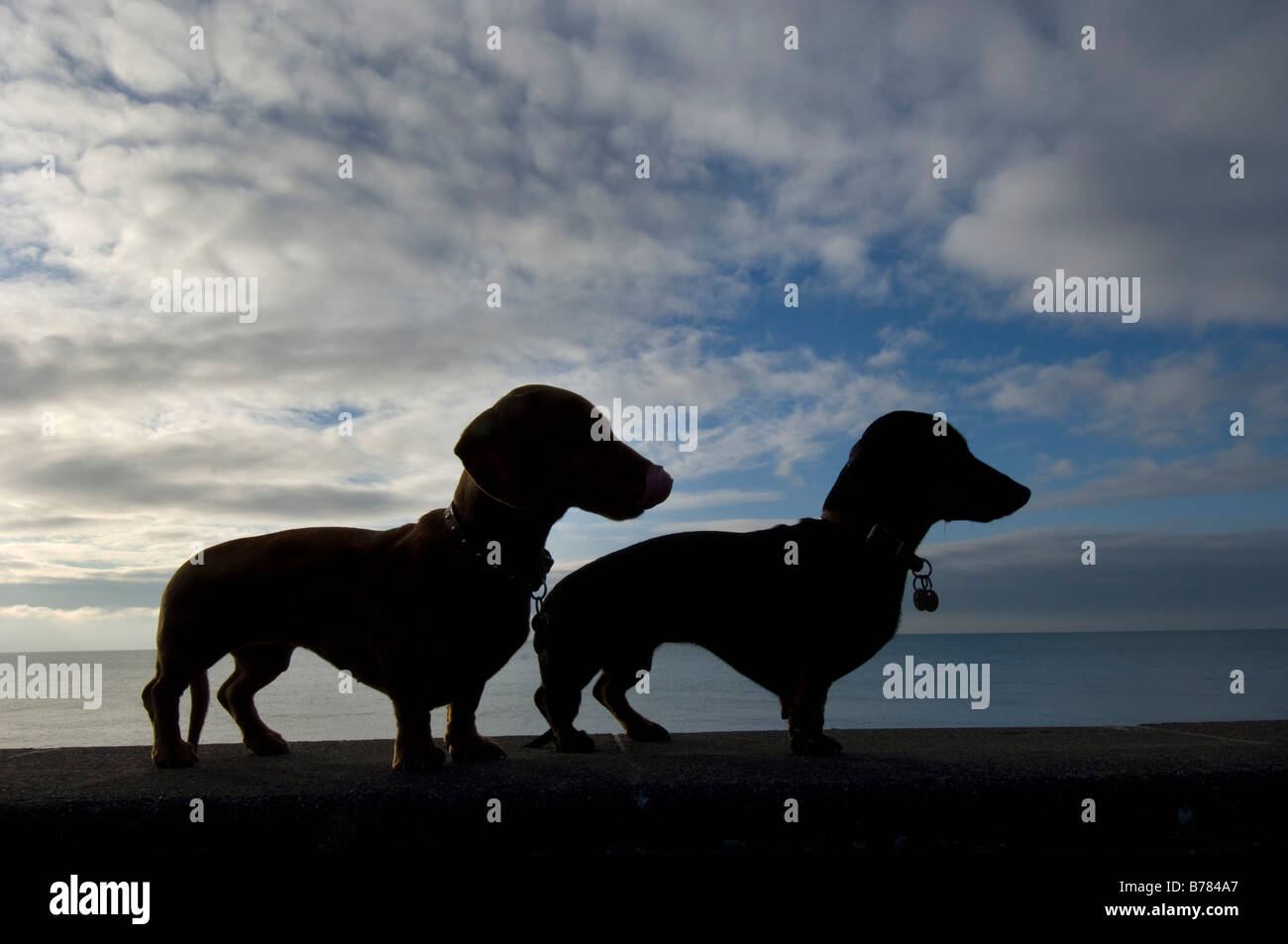 Two miniature dachshunds silhouetted against cirrus clouds on Brighton seafront during their early morning seaside - Stock Image