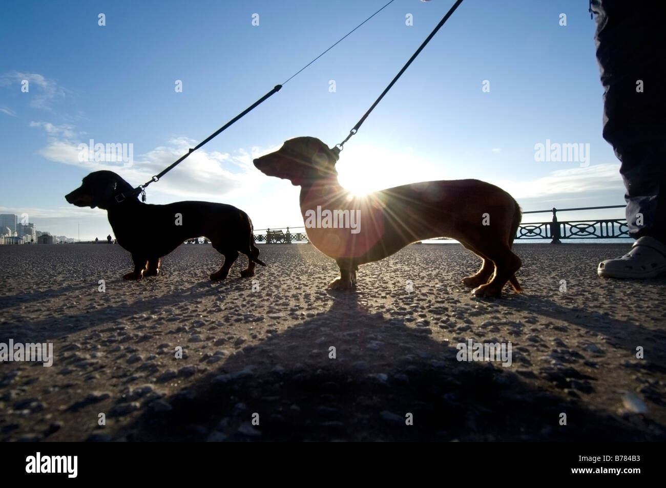 Two miniature dachshunds on an early morning walk on Brighton seafront - Stock Image