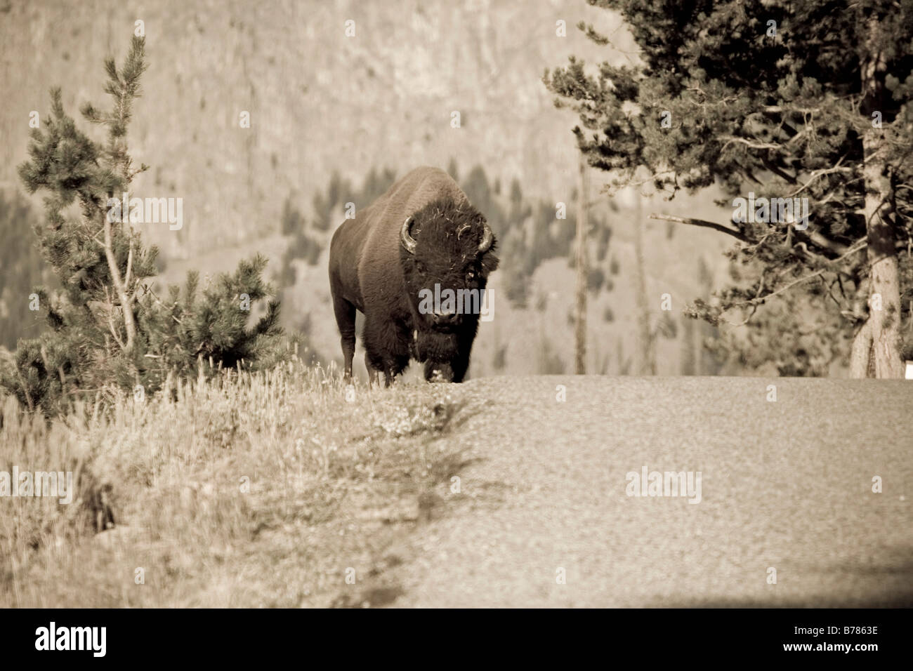 American Bison crossing the road in Yelowstone National Park sepia - Stock Image