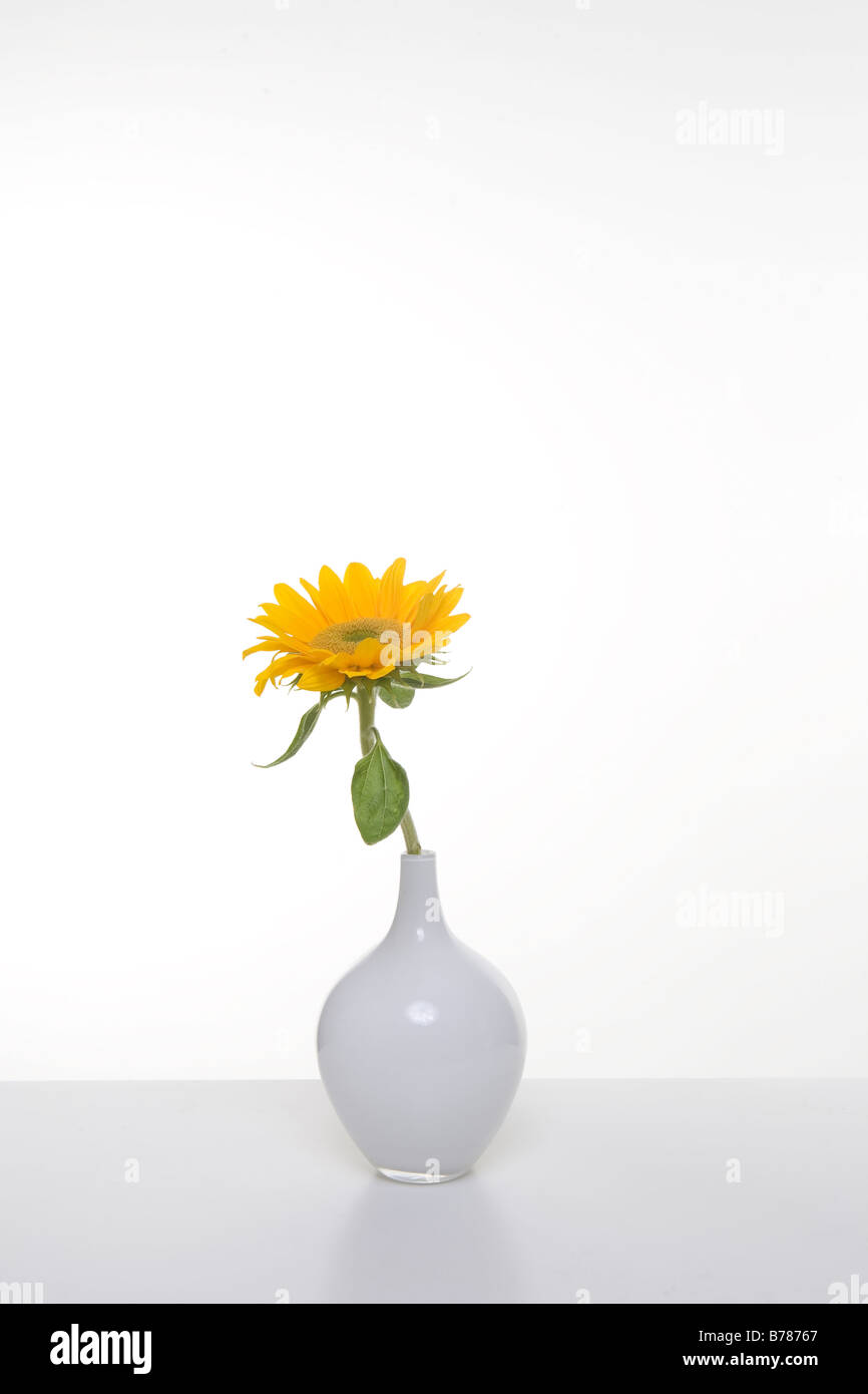 single yellow sunflower in white vase - Stock Image