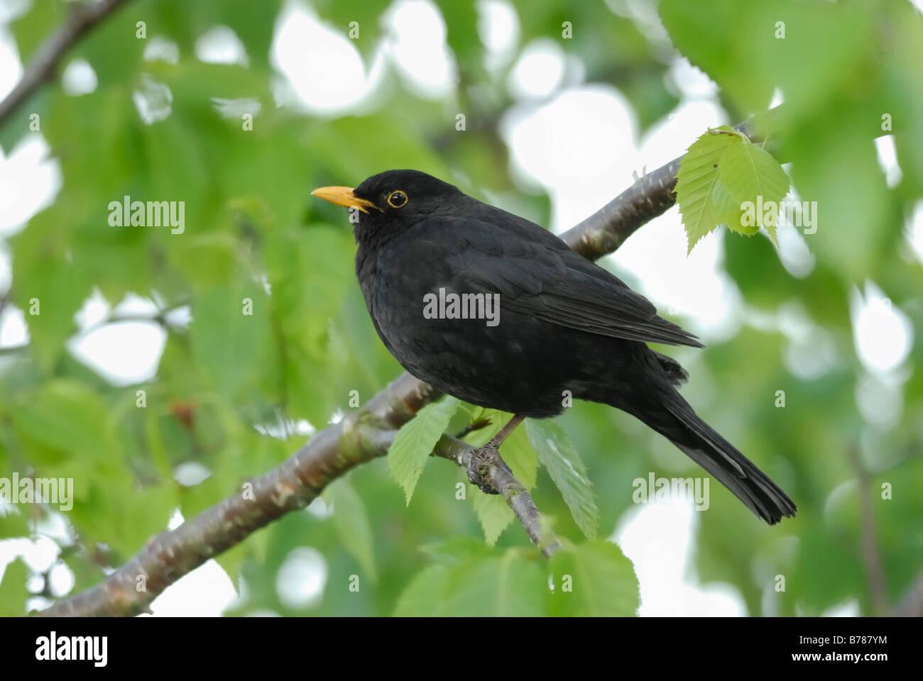 A Male Blackbird (Turdus merula) - Stock Image
