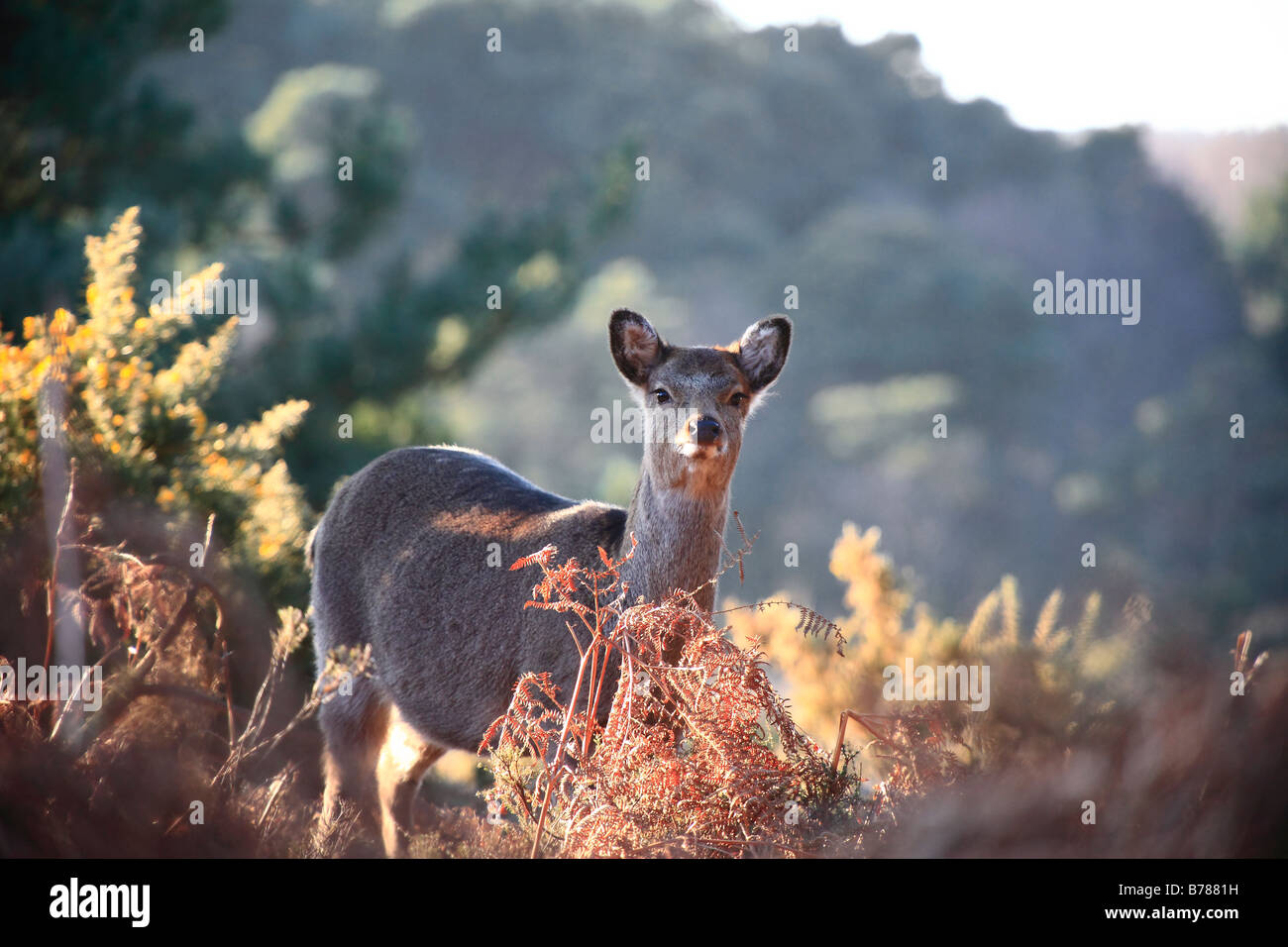 The Sika Deer (Cervus nippon) is a member of the deer family Cervidae that inhabits much of East Asia. It is found - Stock Image