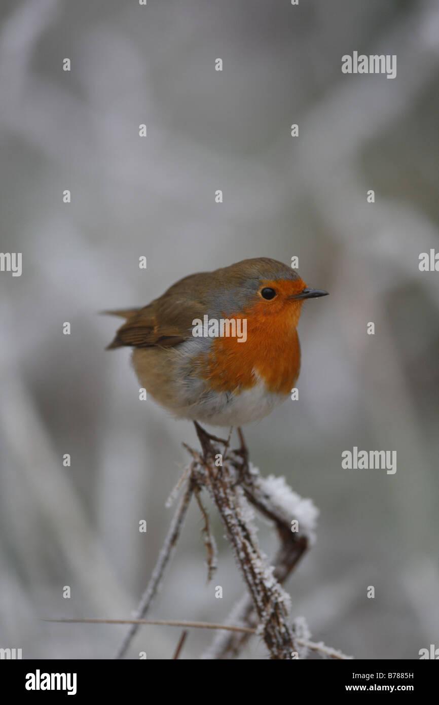 Snow Thistle Stock Photos & Snow Thistle Stock Images - Alamy