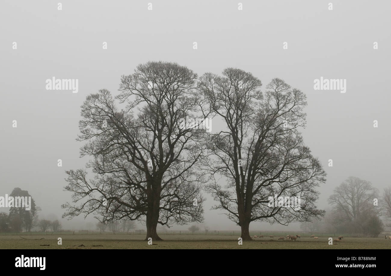 Trees on a foggy winter morning. Stock Photo