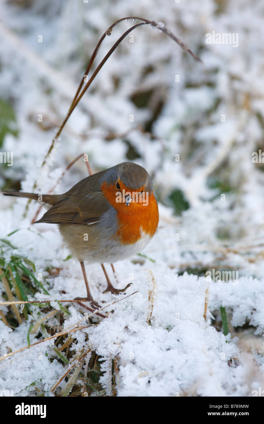 Erithacus rubecula ROBIN ON GROUND AMONGST SNOW - Stock Image