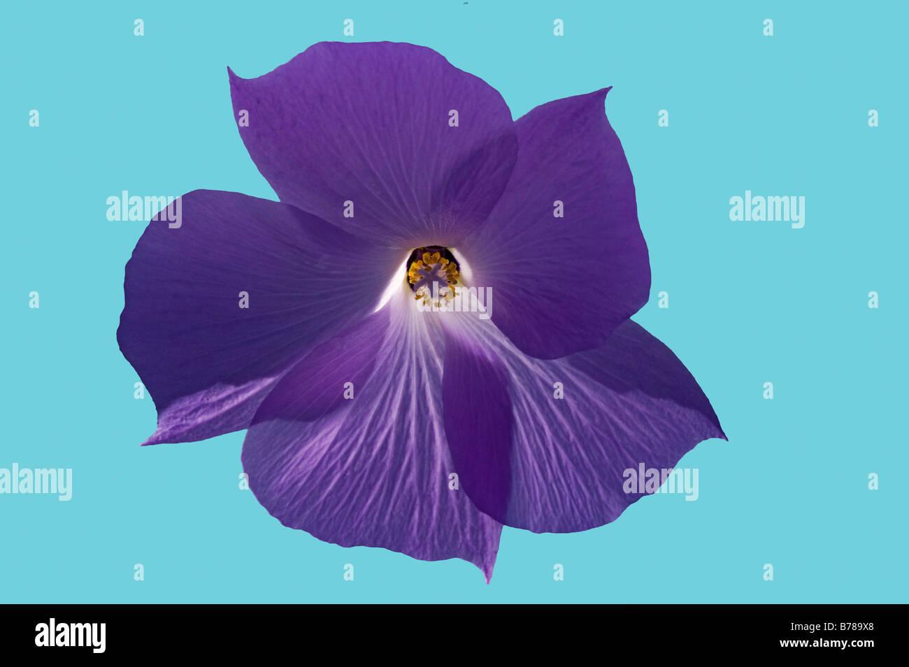 simple image of purple morning glory flower petals - Stock Image
