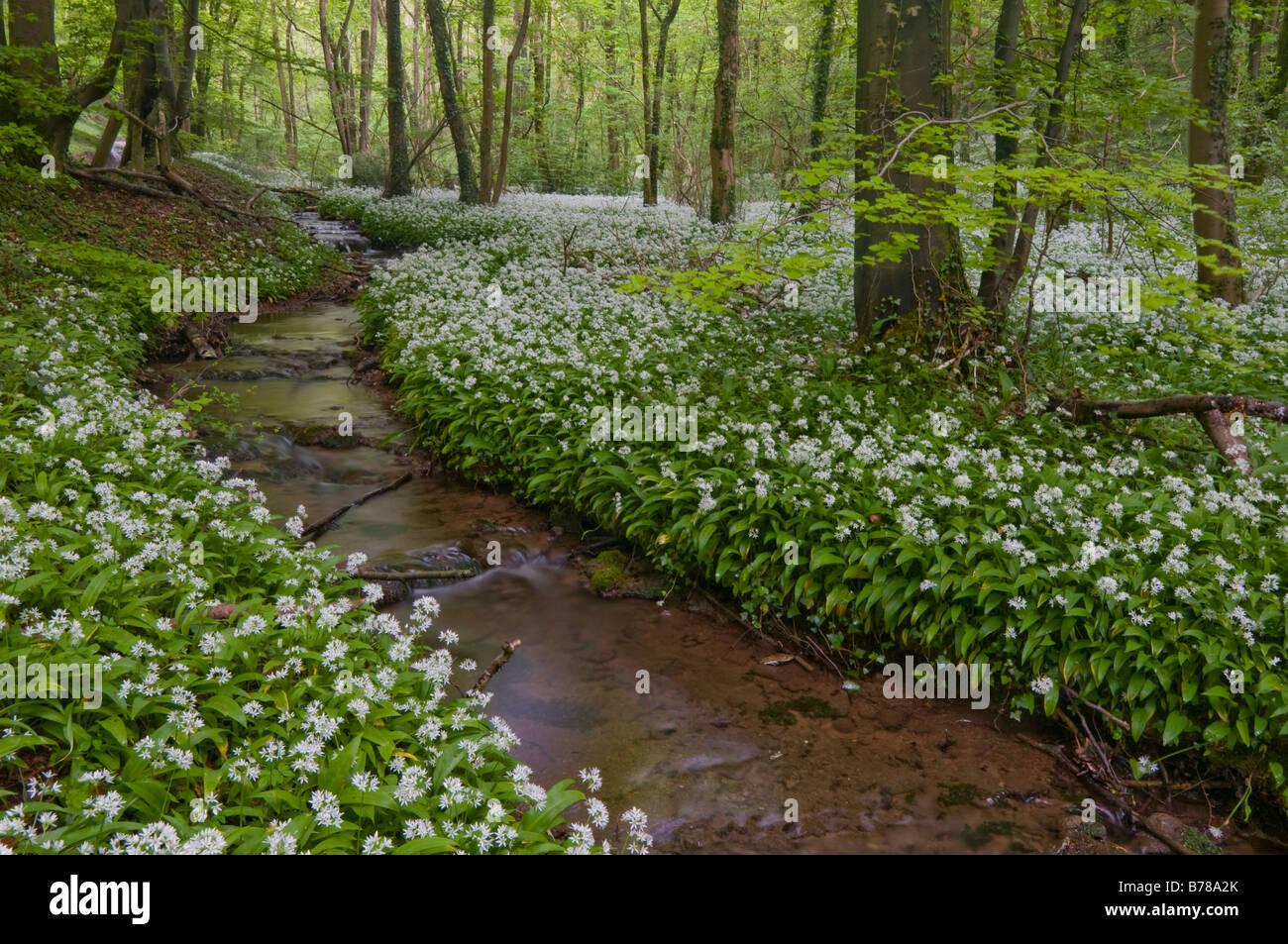 Ramsons/wild garlic Stock Photo
