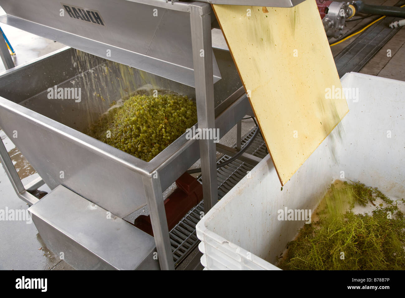 STEMS are removed from CHARDONNAY grapes in a mechanical CRUSHER at JOULLIAN VINEYARDS CARMEL VALLEY CALIFORNIA - Stock Image