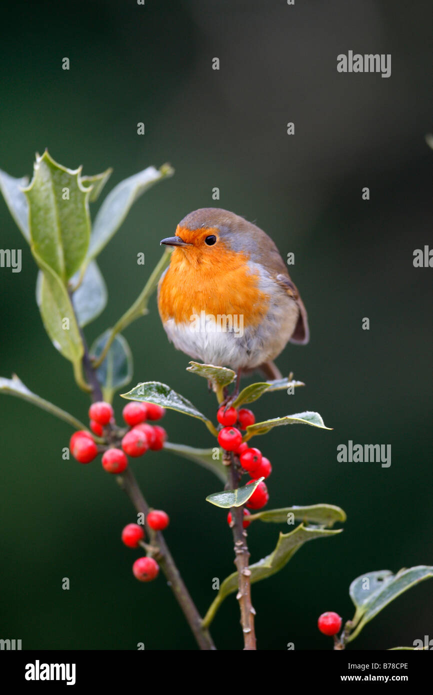 Erithacus rubecula ROBIN PERCHING ON FROSTED HOLLY BRANCH - Stock Image