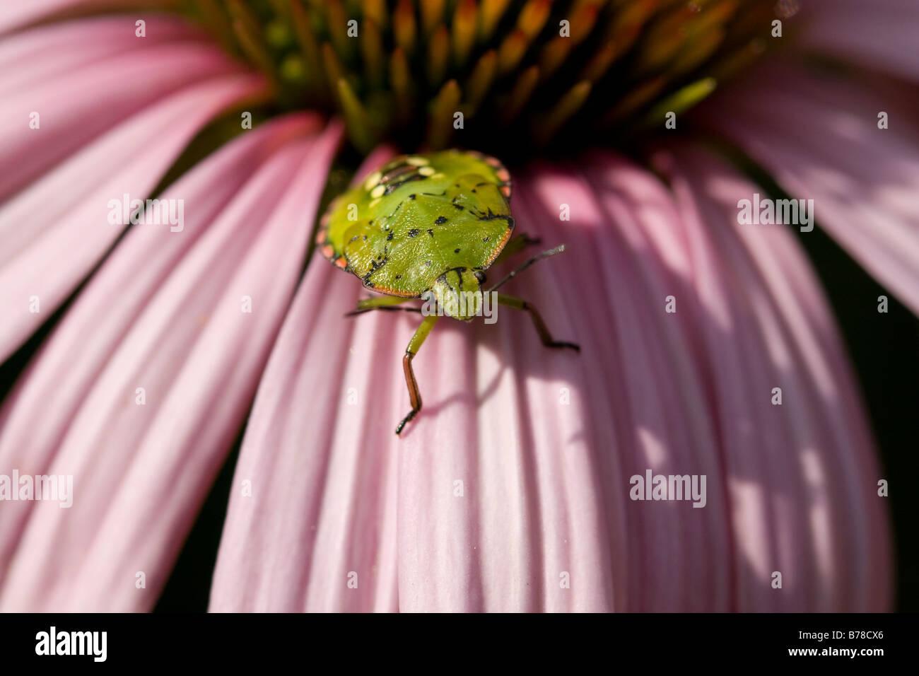 green shield beetle on pink echinacea flower - Stock Image