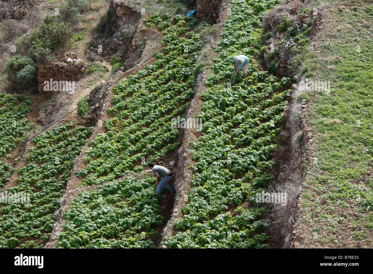 Field work on terraced potato fields, La Gomera, Canary Islands, Spain, Europe - Stock Image
