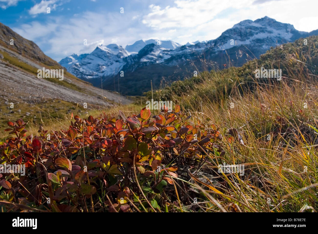 Alpine Bearberry (Arctostaphylos alpinus) in front of the Buendner Alps, Mt Diavolezza, 2978 m and Mt Piz Palue, 3905 m, Canton Stock Photo
