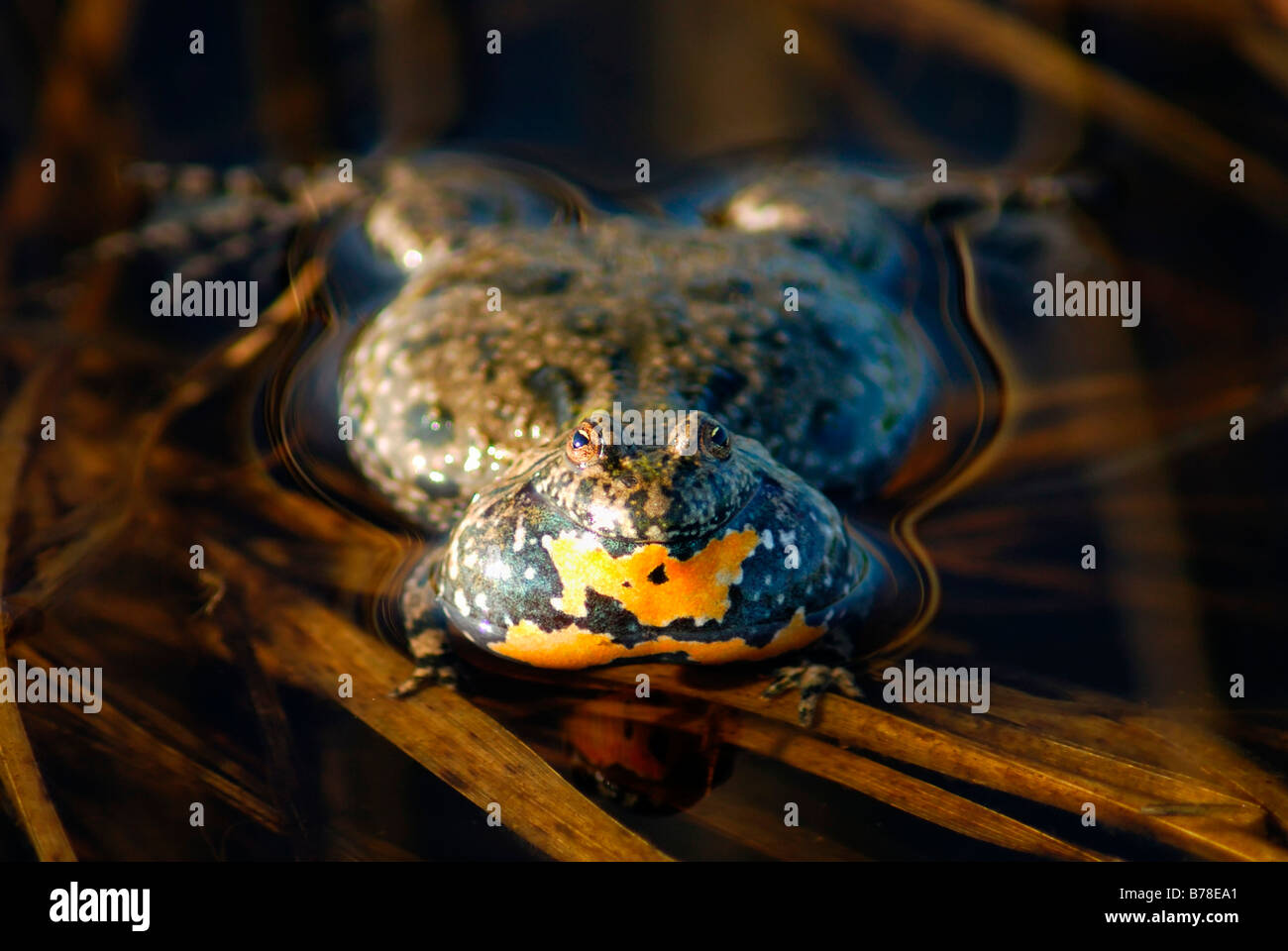 European Fire-bellied Toad (Bombina bombina) Stock Photo