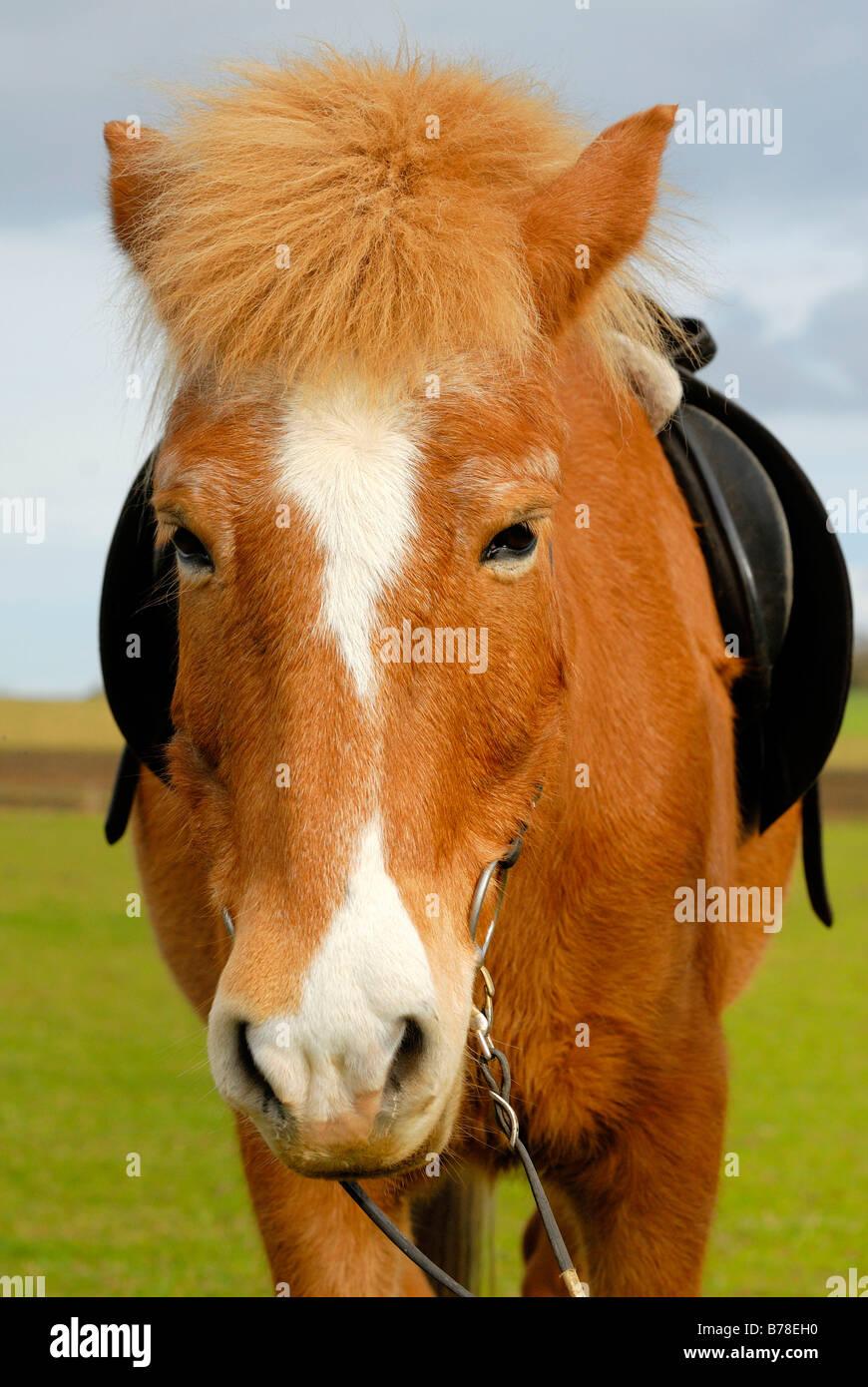 Icelandic horse (Equus ferus caballus), portrait Stock Photo