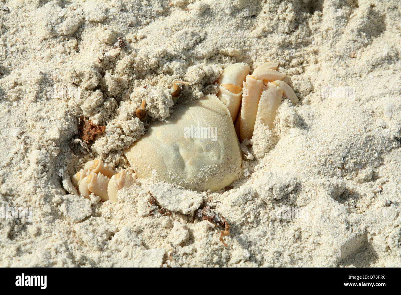 A Ghost Crab (Ocypode saratan) concealing itself from predators on a beach in north-east Qatar,Arabia. - Stock Image