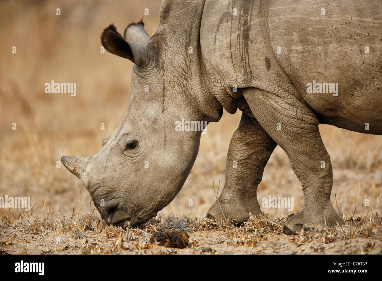 Portrait of a baby white rhino Stock Photo
