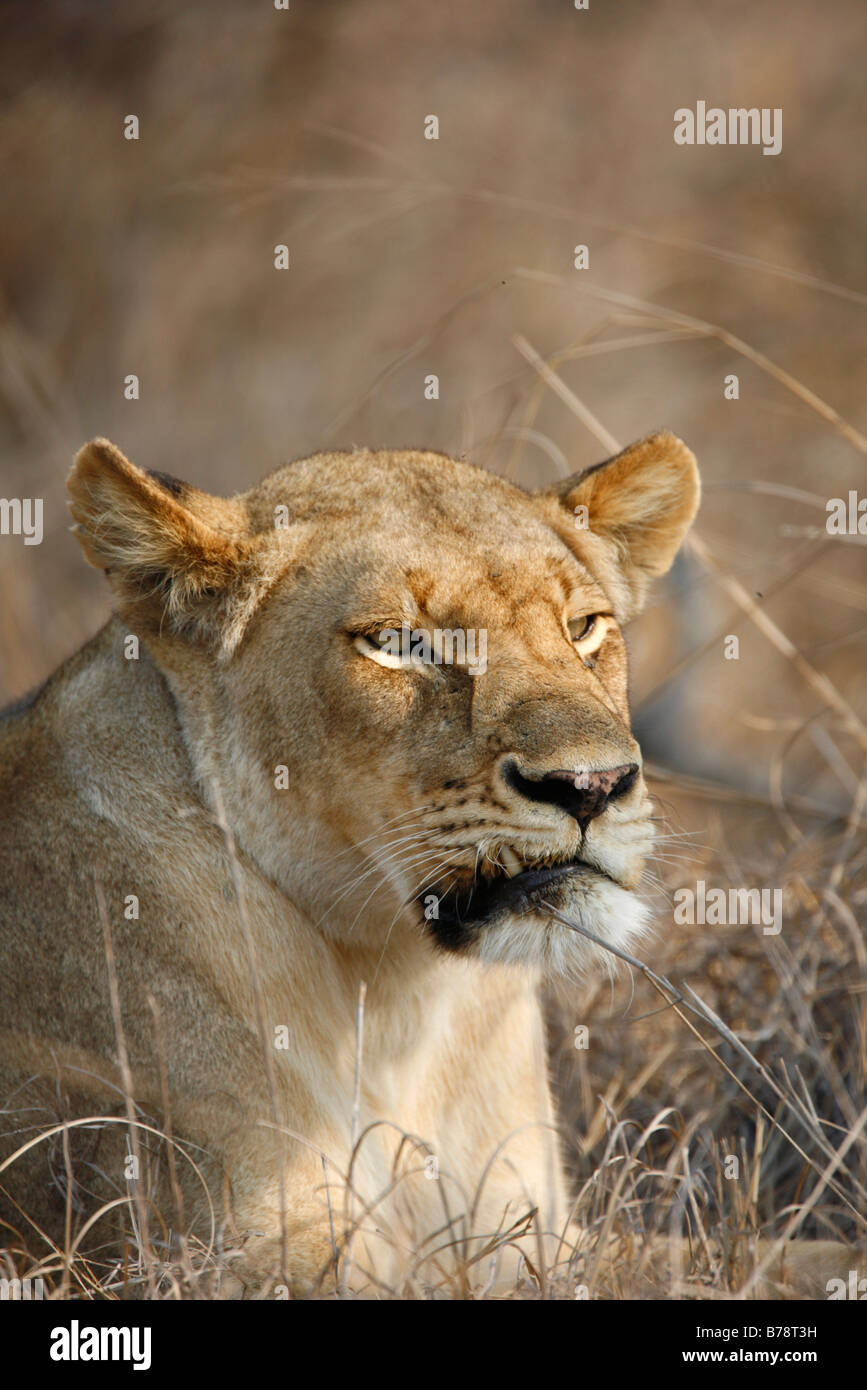 Portrait of a lioness with an injury which caused her canine tooth to stick out - Stock Image