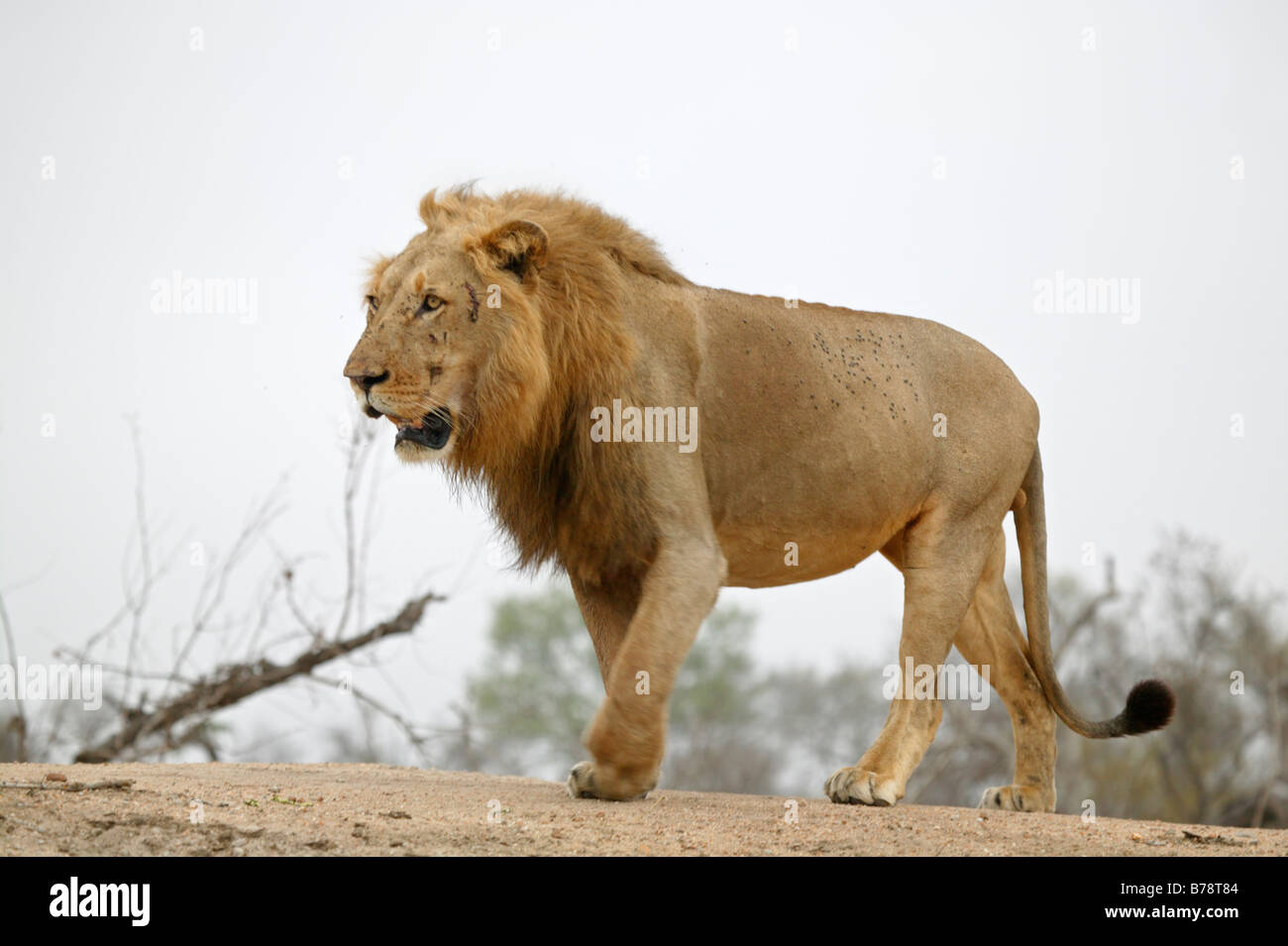 Male Lion Walking Side View Stock Photos & Male Lion ... - photo#2