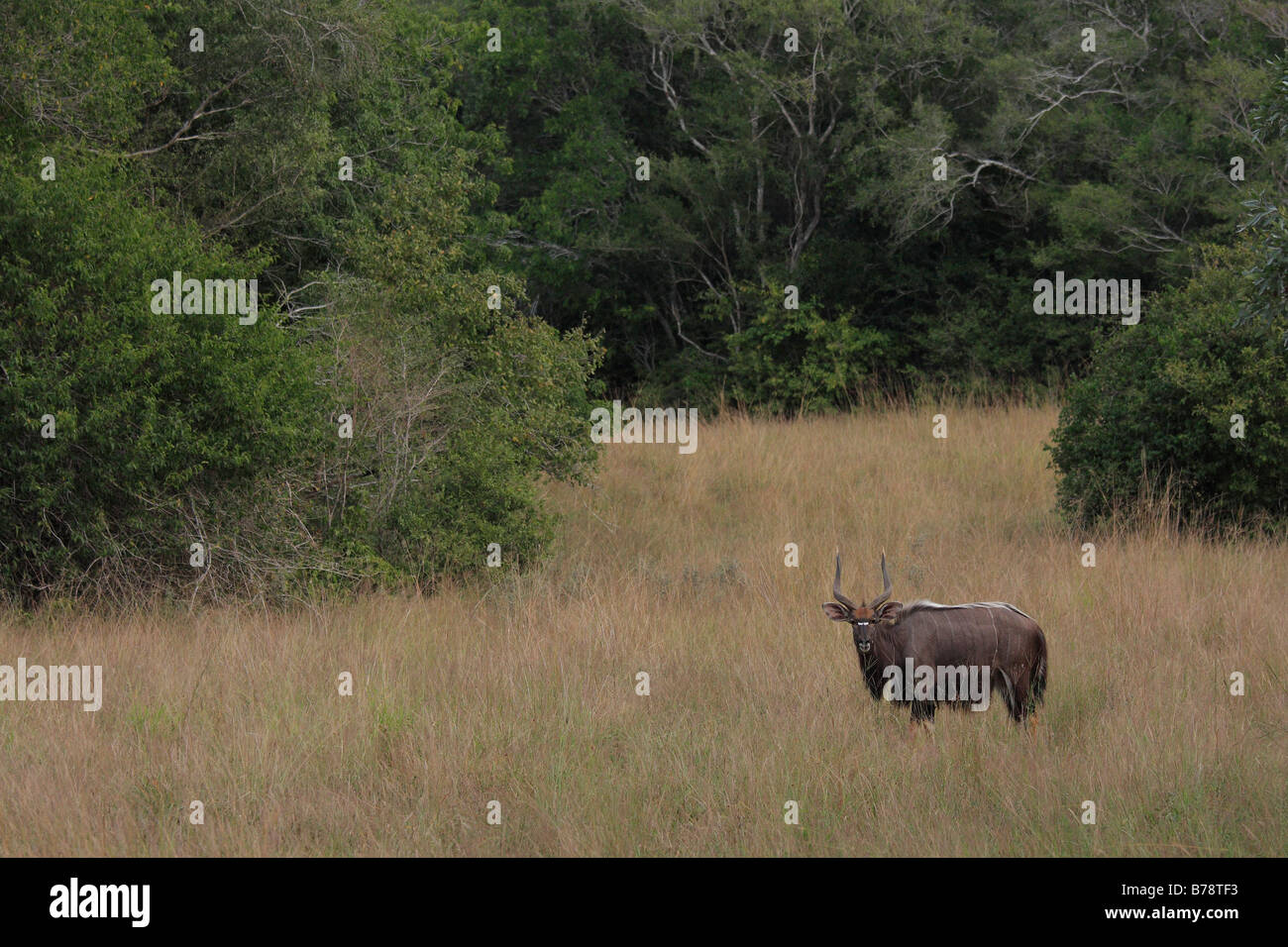 Scenic view of a lone Nyala ram in a bushland - Stock Image