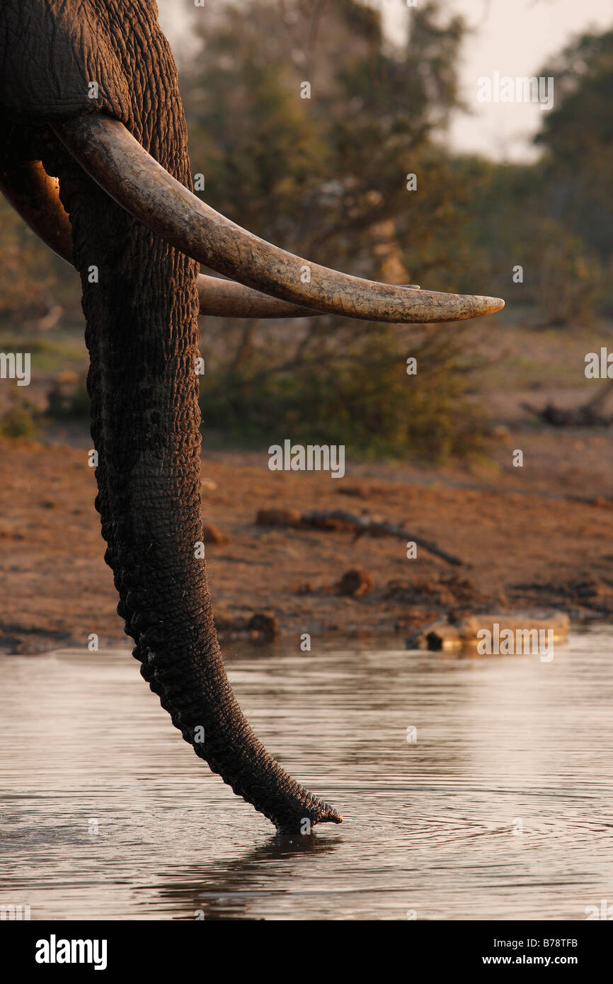Close up of an elephant trunk skimming water from the surface of a waterhole - Stock Image