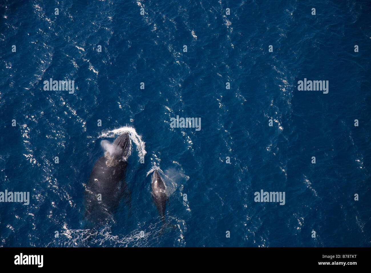 Aerial view of a hump backed whale and calf surfacing - Stock Image