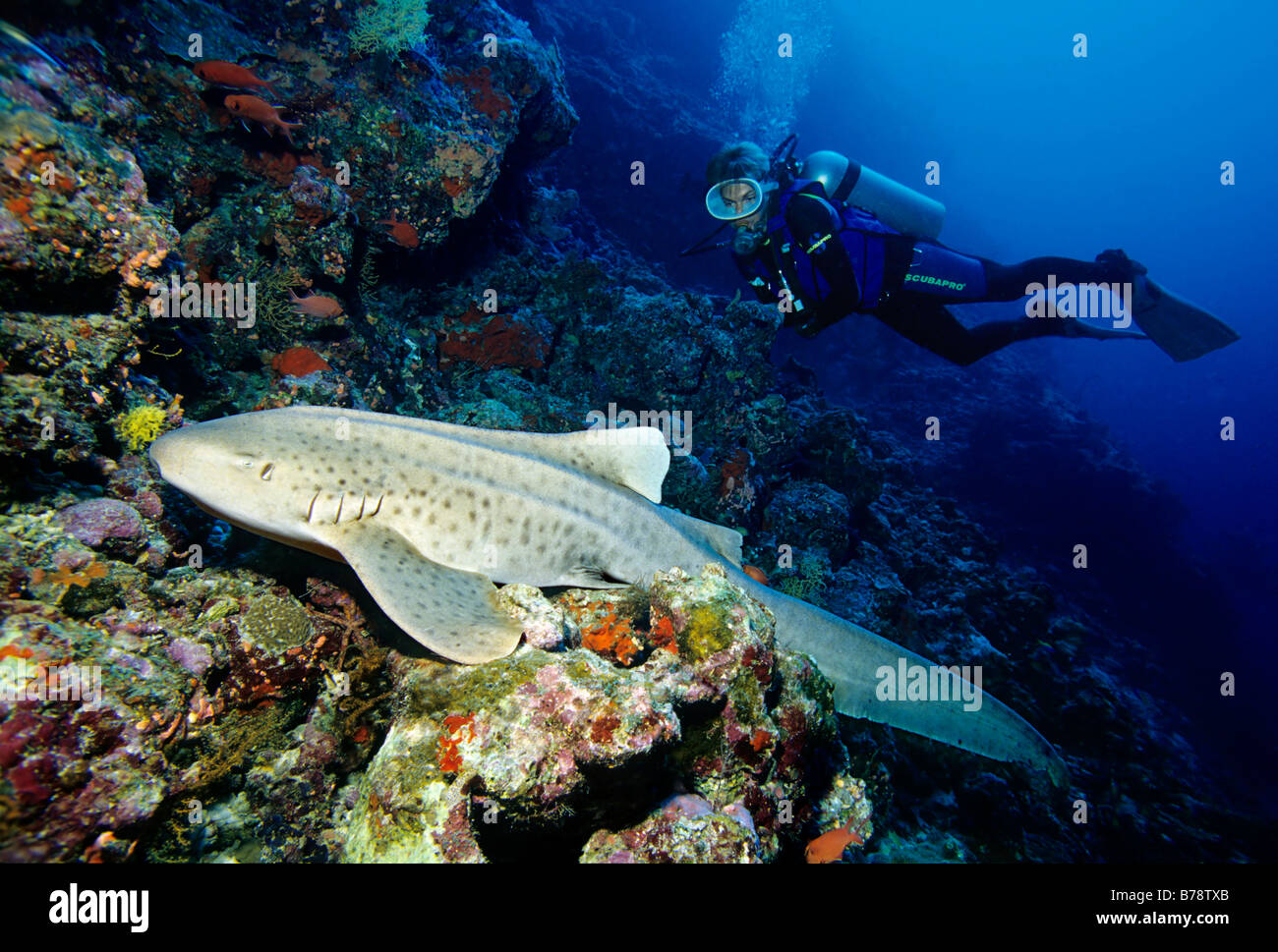 Scuba diver watching a Zebra Shark (Stegostoma fasciatum) at a coral reef, Lhaviyani Atoll, Maldives, Indian Ocean, - Stock Image