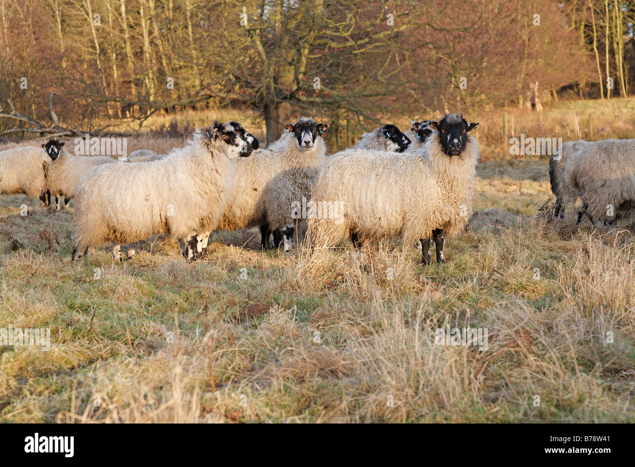 Sheep grazing on rough winter pasture - Stock Image
