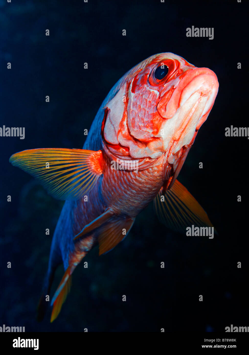 Sabre Squirrelfish (Sargocentron spiniferum) in the reef overhang, Hurghada, Red Sea, Egypt, Africa - Stock Image