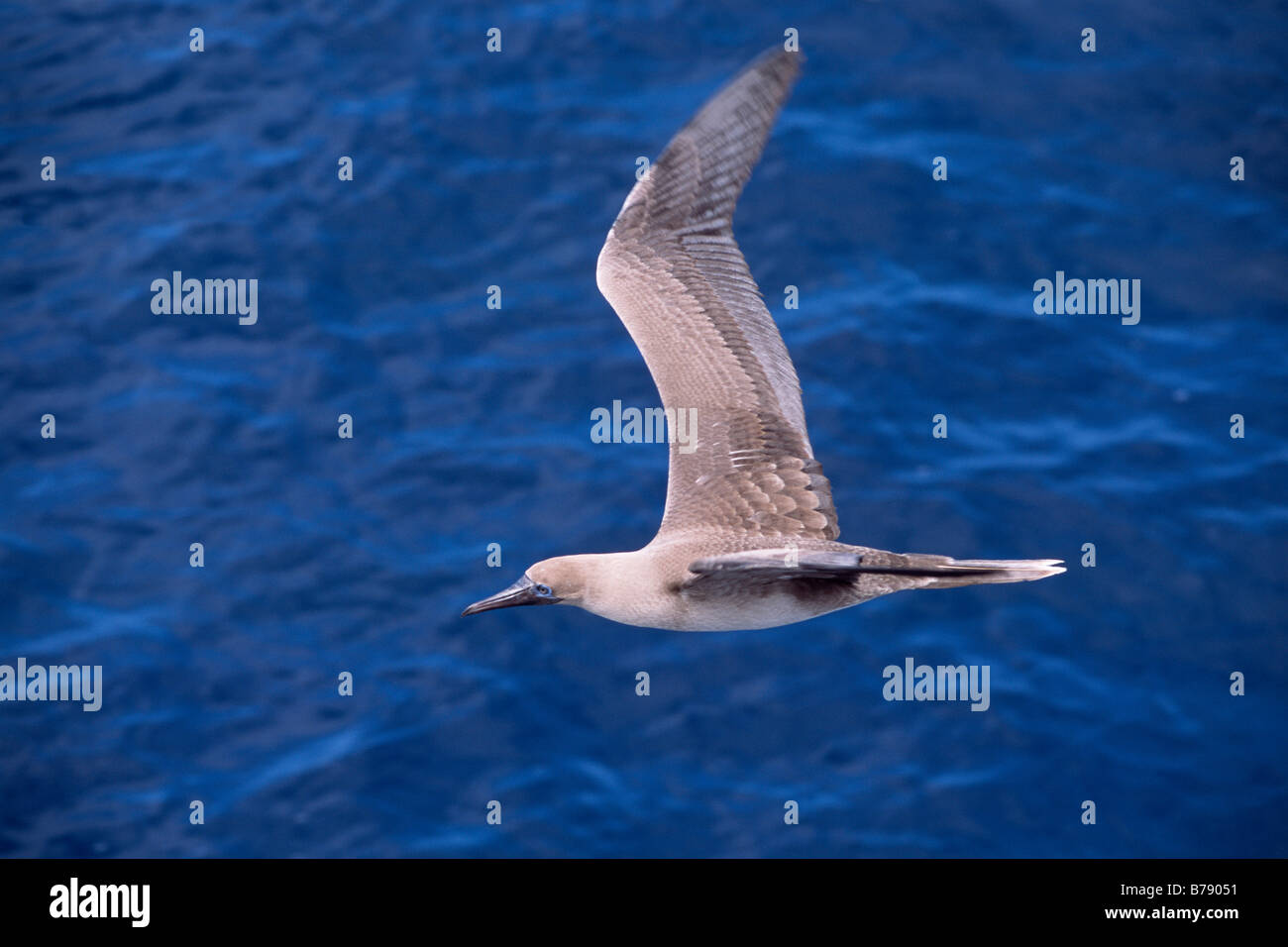 Red-footed Booby (Sula sula) in flight, Galapagos Inseln, Galapagos Islands, Ecaudor, South America - Stock Image