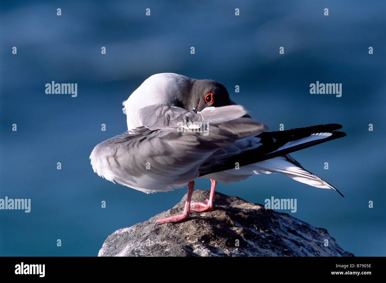 Swallow-tailed gull (Creagrus furcatus) preening, Insel Espanola, Galapagos Inseln, Galapagos Islands, Ecuador, - Stock Image