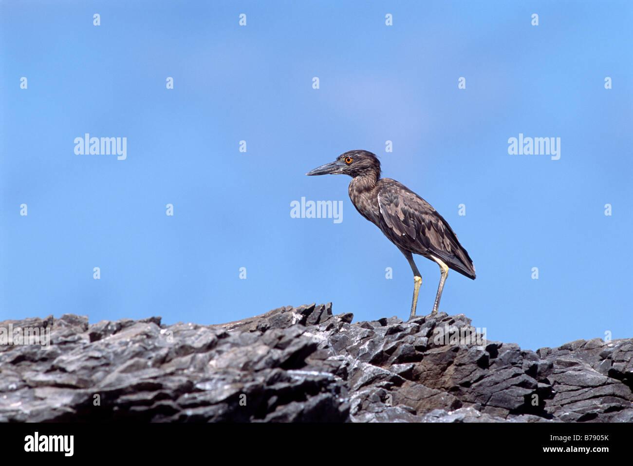 Lava Heron (Butorides sundevalli), Insel Fernandina, Galapagos Inseln, Galapagos Islands, Ecuador, South America - Stock Image
