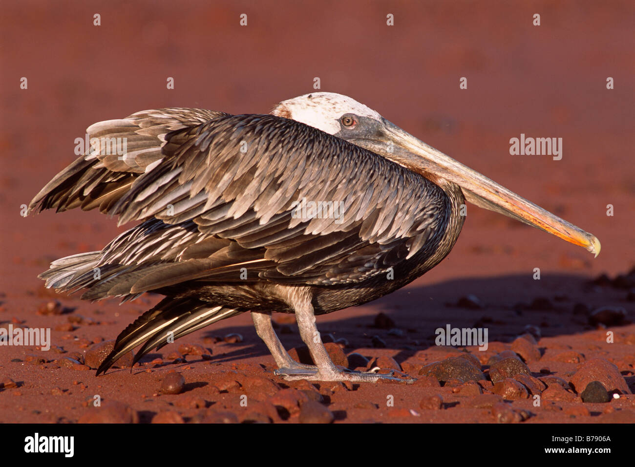 Brown Pelican (Pelecanus occidentalis) on Insel Rapida red beach, Galapagos Inseln, Galapagos Islands, Ecuador, - Stock Image