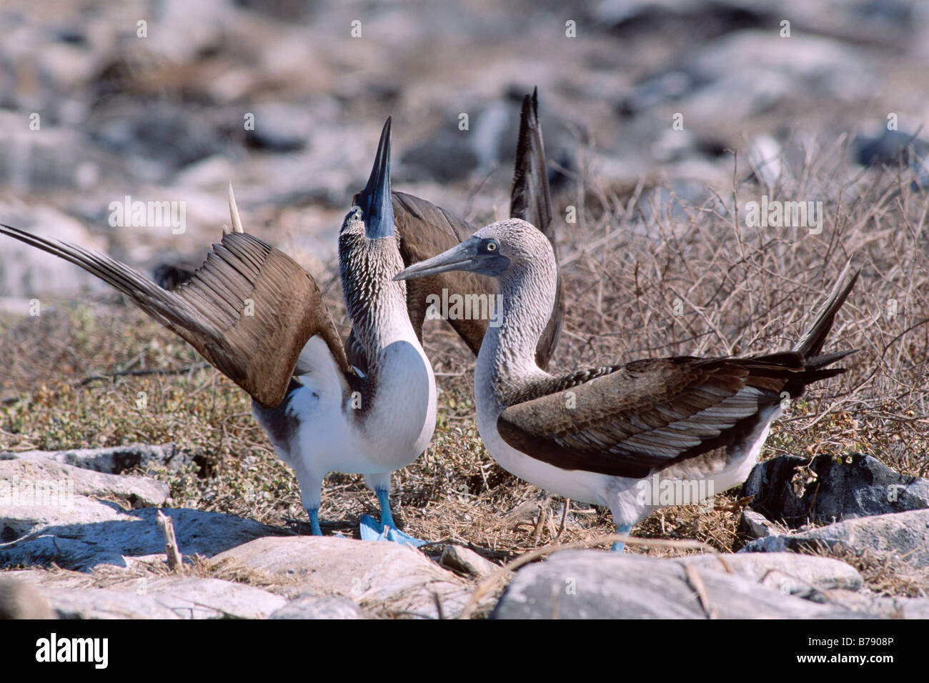 Blue-footed Booby pair (Sula nebouxii) courtship dance, Insel Espanola, Galapagos Inseln, Galapagos Islands, Ecuador, - Stock Image