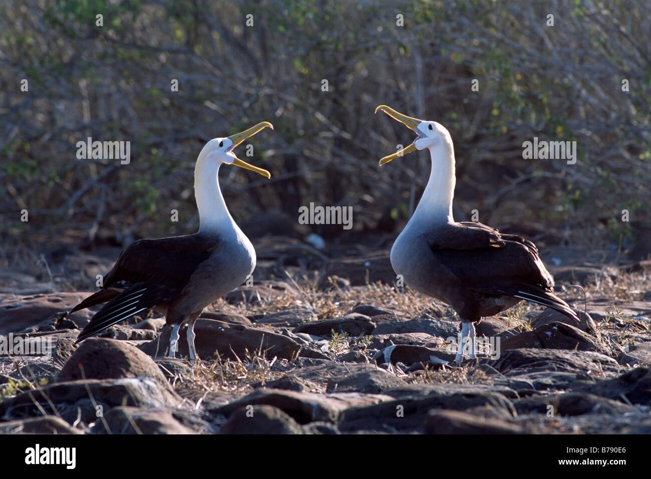 Waved Albatross pair (Diomedea irrorata) courtship dance, Insel Espanola, Galapagos Inseln, Galapagos Islands, Ecuador, - Stock Image