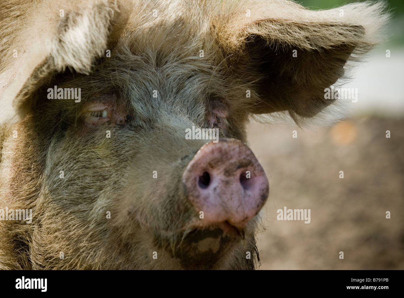 close up of pig looking to camera - Stock Image