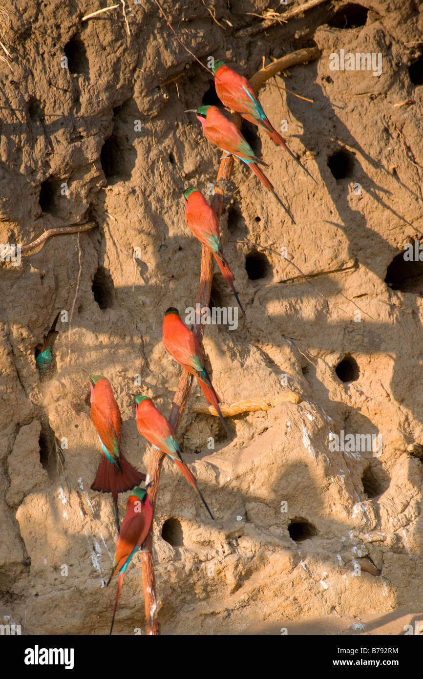 Southern Carmine Bee-eaters at their Mud Wall Nests, Okavango Panhandle, Botswana - Stock Image