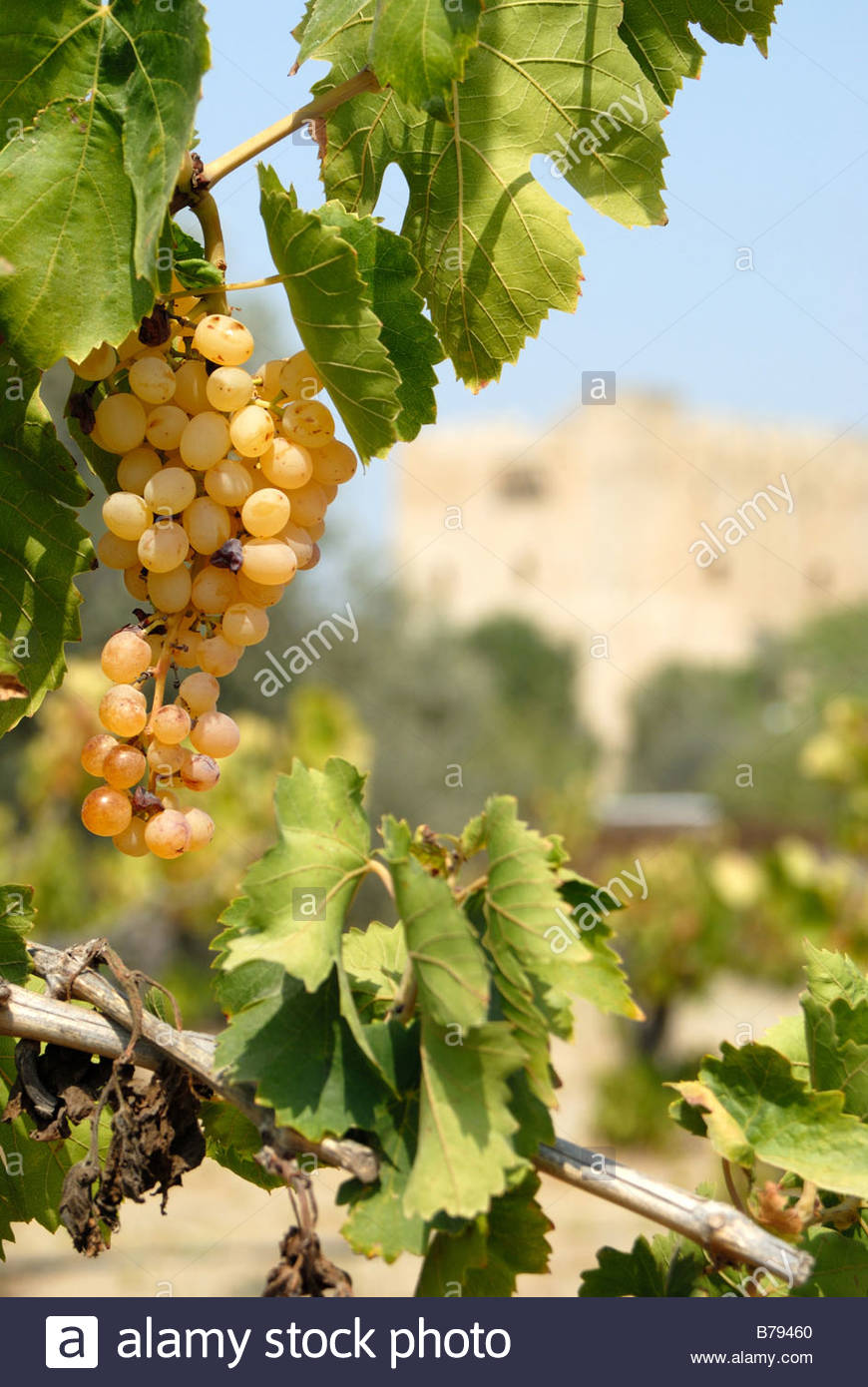 Kolossi Cyprus Kolossi Castle and grape vines. - Stock Image