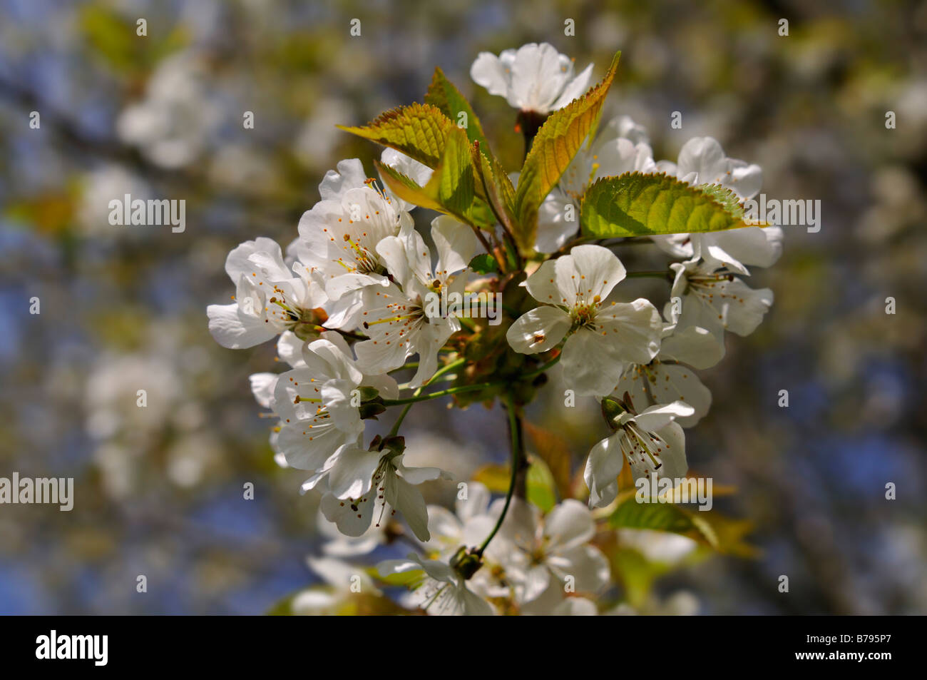 Wild cherry or gean blossoms in a Perthshire garden Scotland UK - Stock Image