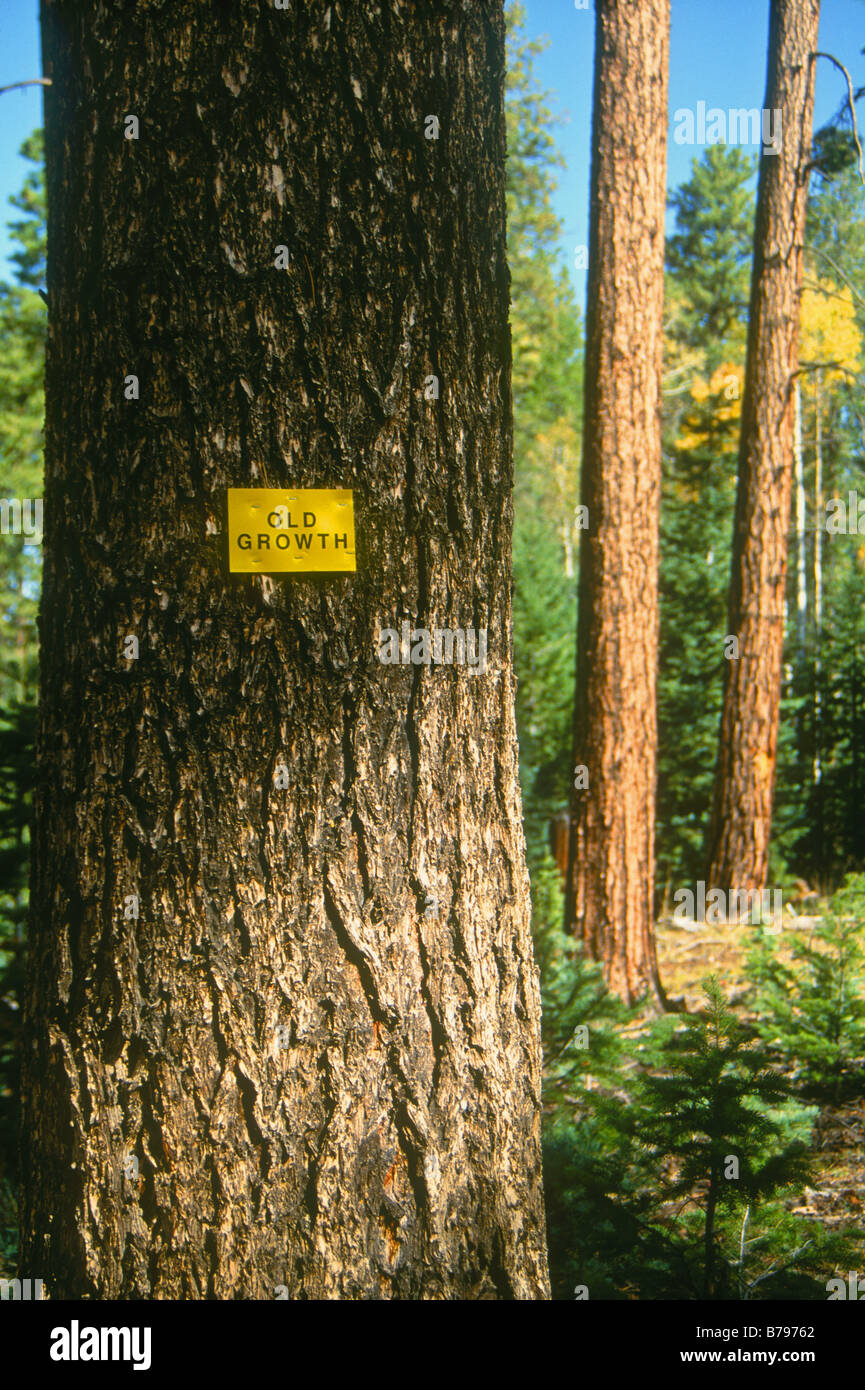 Old growth forest, Kaibab National Forest, Arizona - Stock Image