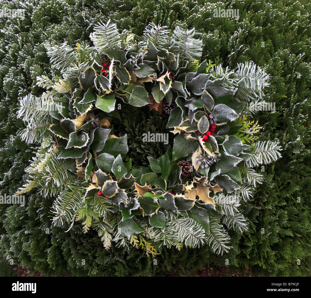 Christmas wreath of holly and conifer with berries and cone and covered in frost. - Stock Image