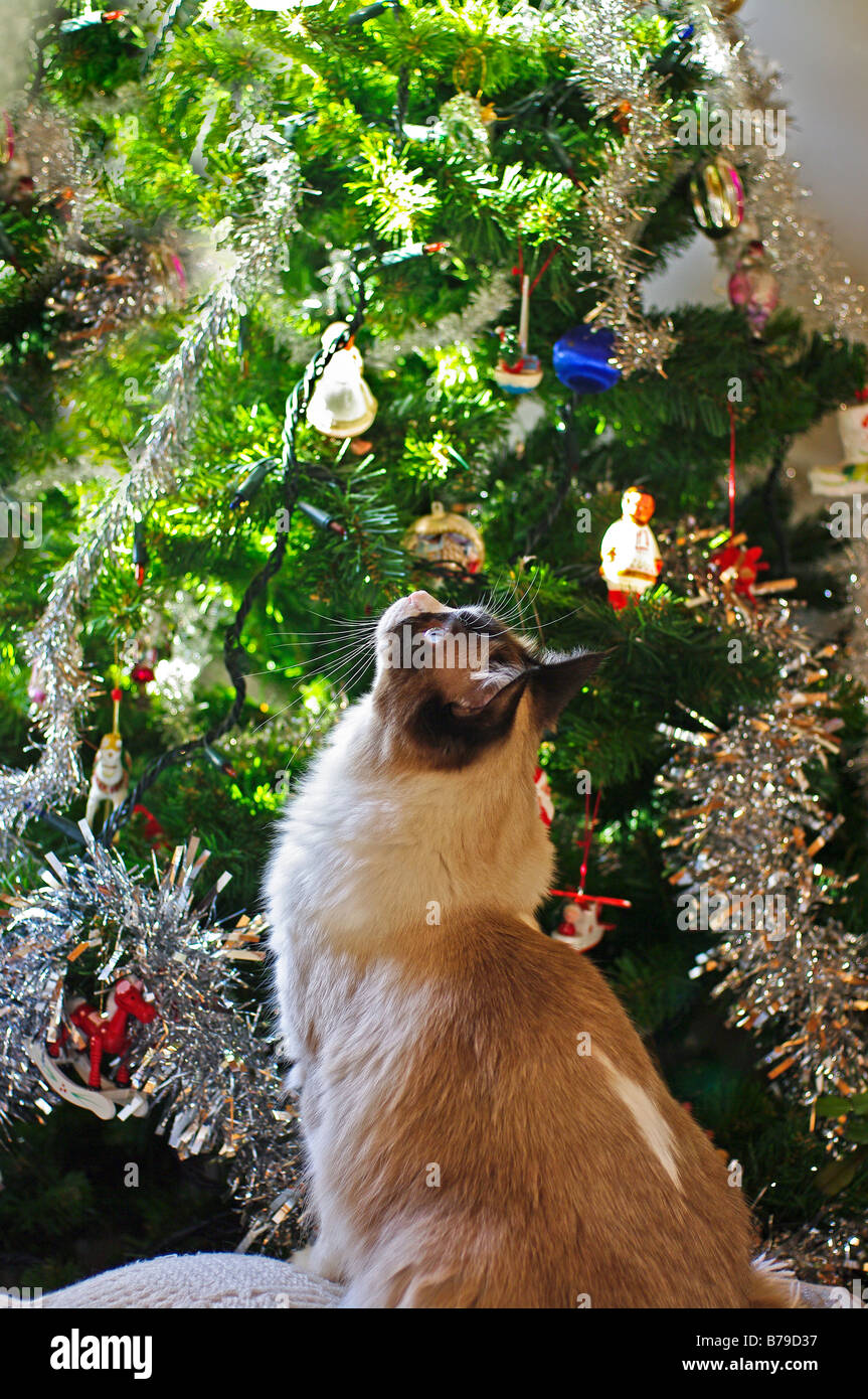 Unposed picture of a young Ragdoll cat enchanted by Christmas tree and decorations - Stock Image