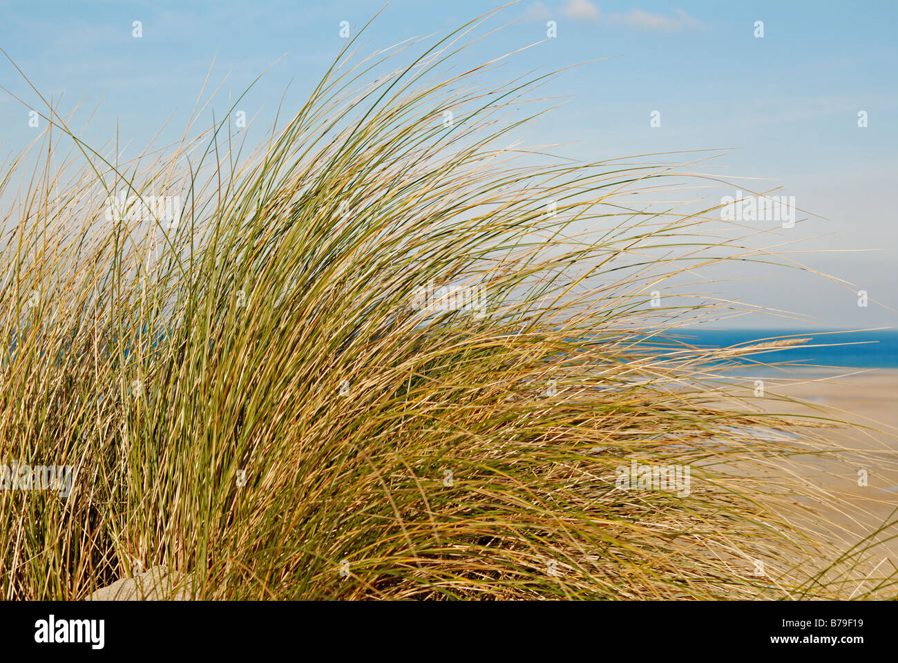 marram grass on the cornish coast - Stock Image