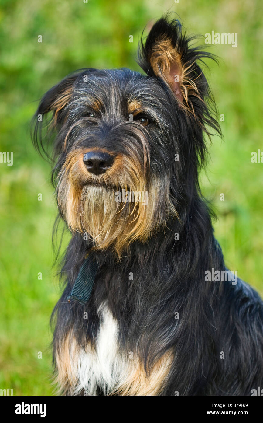Shaggy dog with one ear up and one ear down Stock Photo