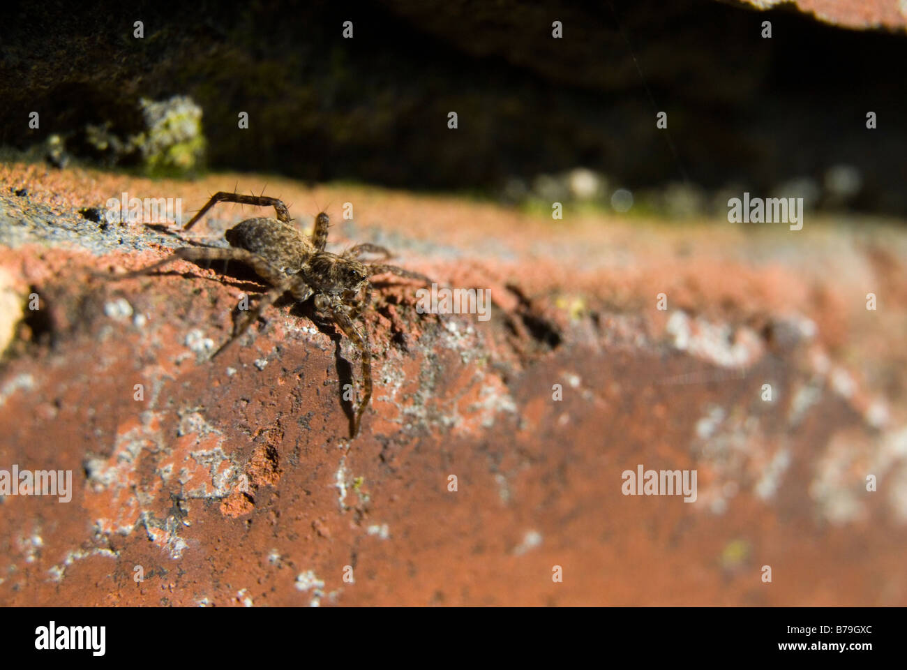 Very small hunting wolf Spider awaiting its prey on the edge of a brick in a old garden wall. - Stock Image