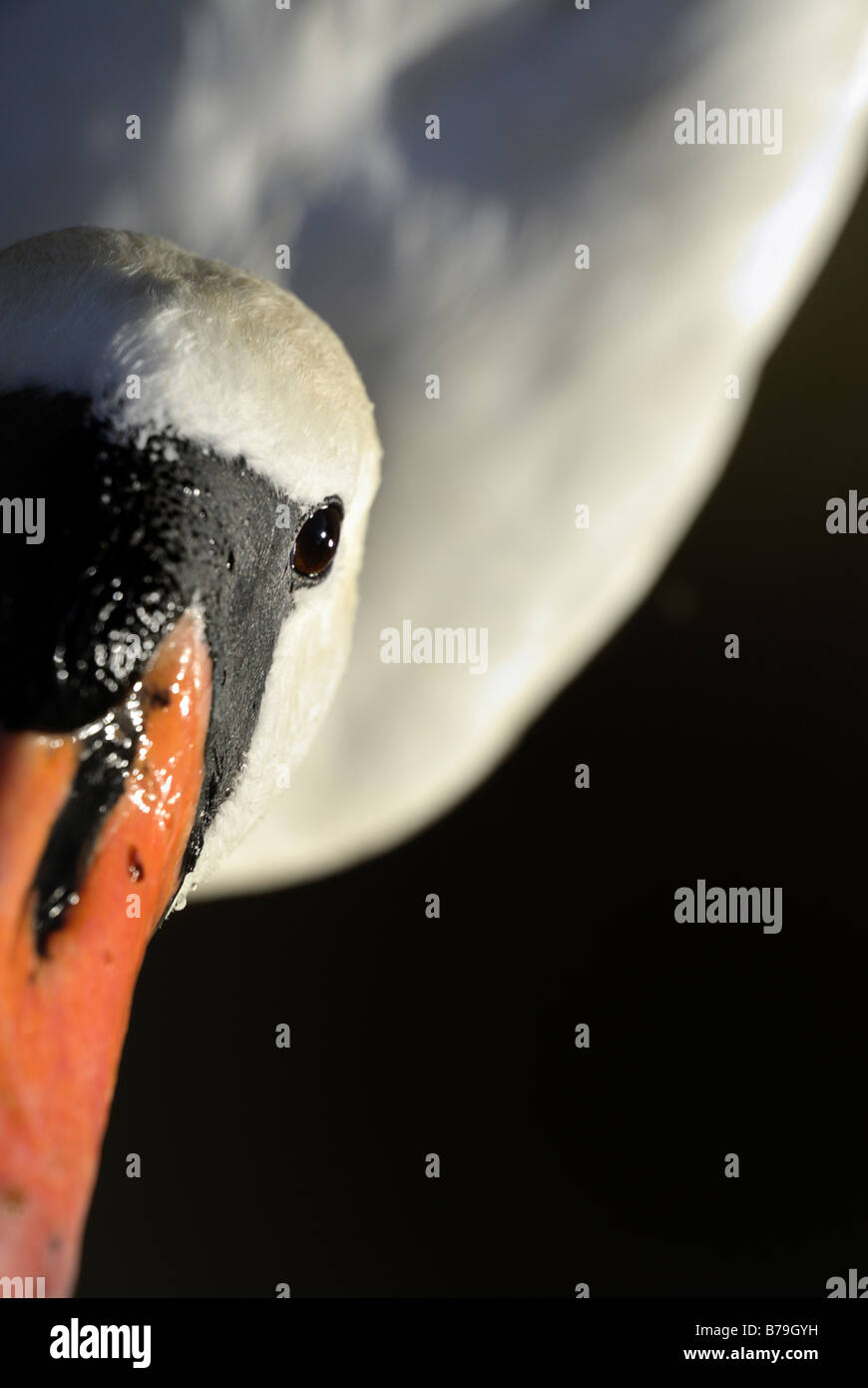 Unusual angle view of a Swan`s eye and bill with large areas de-focused for effect - Stock Image