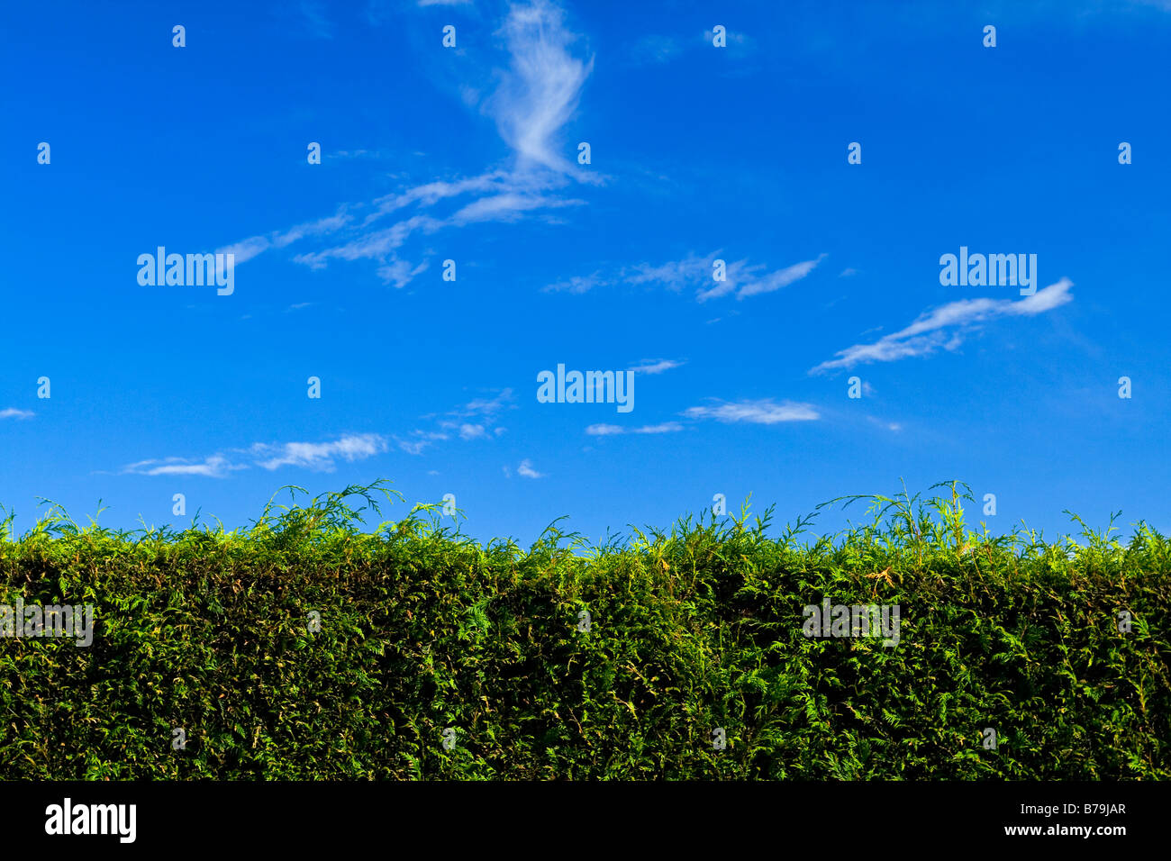 Leylandii hedge shrub with blue sky and cloud behind - Stock Image
