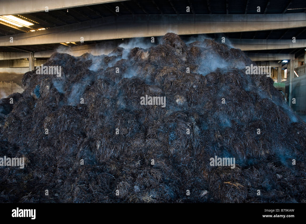 Pile of hot compost for commercial mushroom farming producing rotting gases - Stock Image