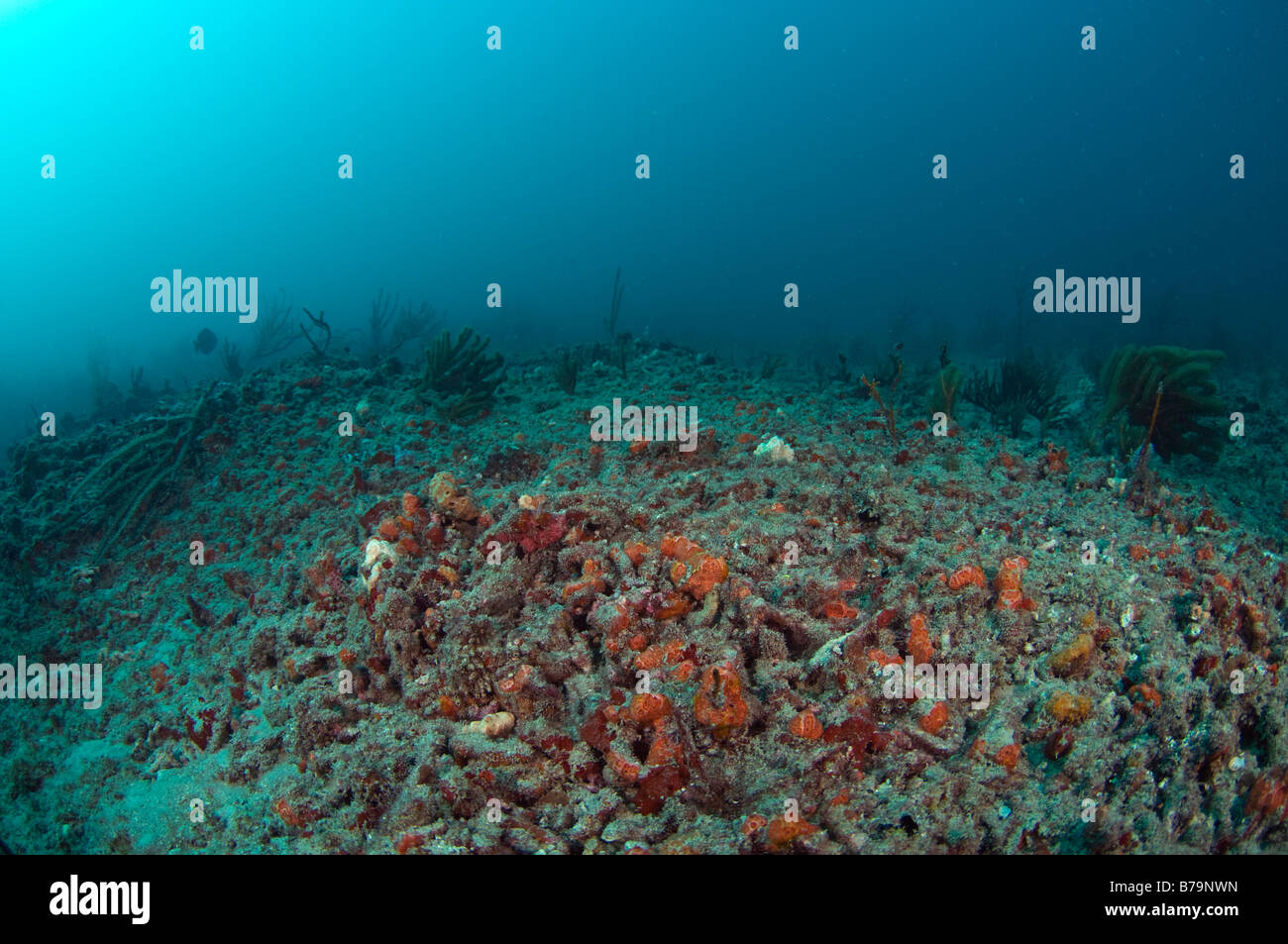 Coral reef in Palm Beach FL recovering after extensive hurricane damage in 2004 - Stock Image