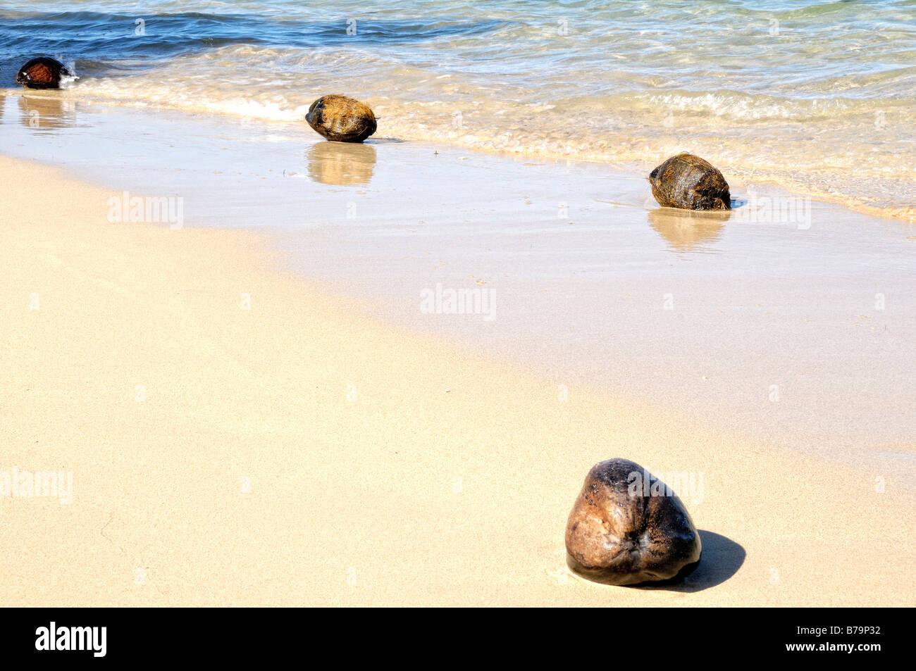 Coconuts fallen on the beach of Papetoai, Moorea, French Polynesia - Stock Image
