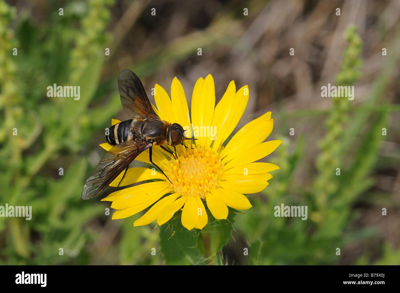 Progressive Bee Fly feeding on a Saw Leaf Daisy wildflower - Stock Image